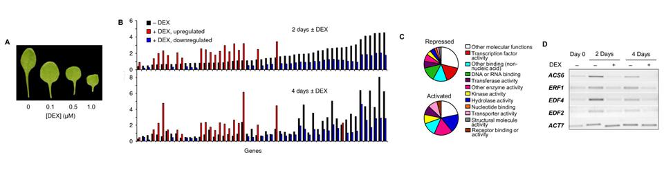 The embryonic leaf identity gene FUSCA3 regulates vegetative phase transitions by negatively modulating ethylene-regulated gene expression in Arabidopsis