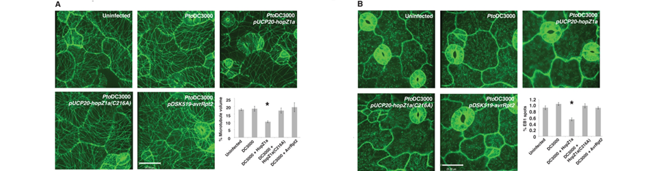 A bacterial acetyltransferase destroys plant microtubule networks and blocks secretion