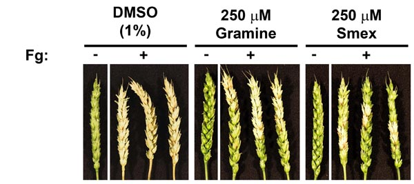 Found in translation: high-throughput chemical screening in Arabidopsis thaliana identifies small molecules that reduce Fusarium head blight disease in wheat